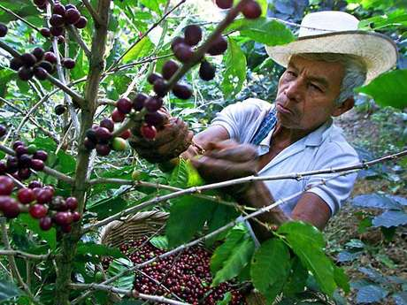 El sector cafetero de La Sierra son beneficiarios de microcréditos, con los cuales adquieren insumos y fertilizantes para sacar adelante sus cosechas.