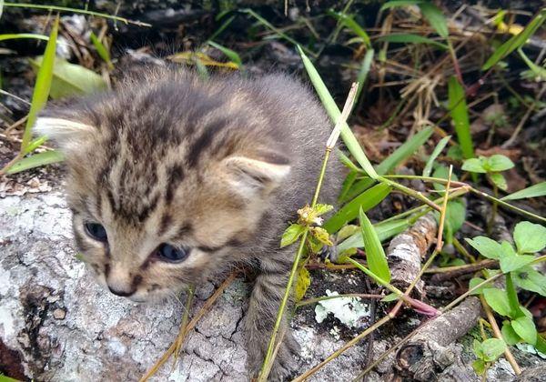 Tigrillo resultó ser un gato doméstico en el municipio de El Tambo, Cauca